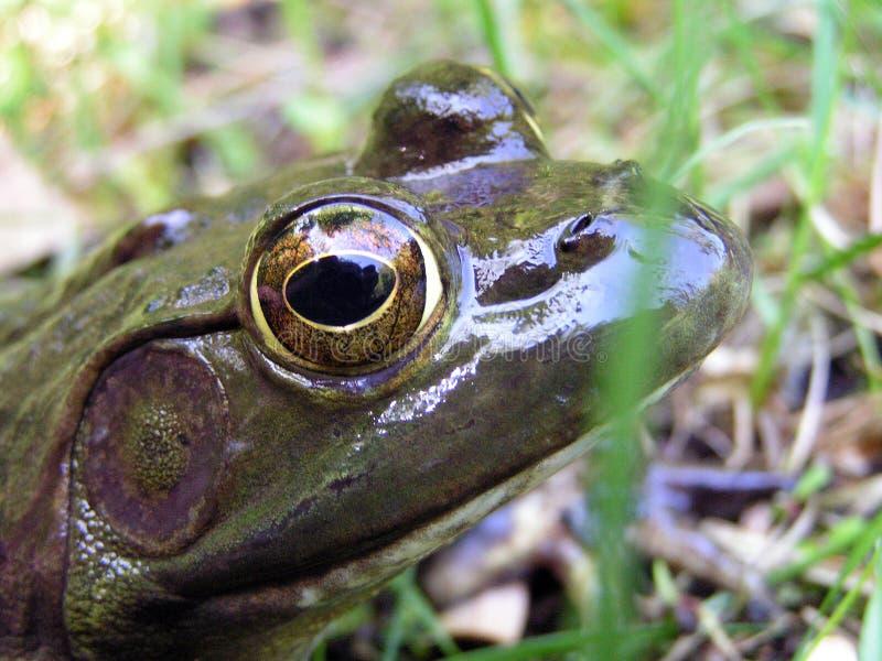 Bull Frog Stock Photography