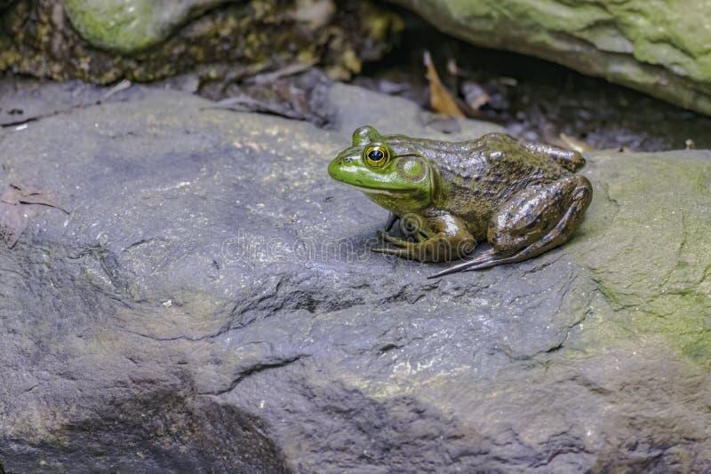 Bull frog stock photos