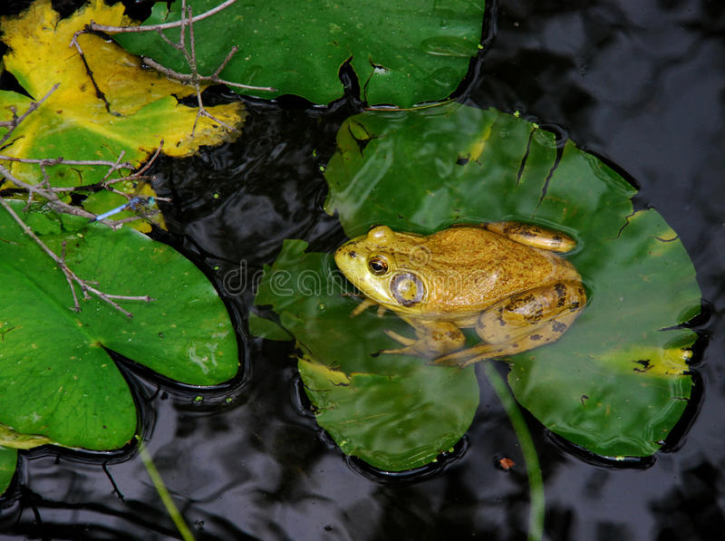 Bull Frog on a Lily Pad. A Yellow and Green Bullfrog Sits on a Lily pad in the middle of a pond royalty free stock photo