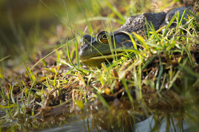Bull Frog. Poised on edge of water stock photos