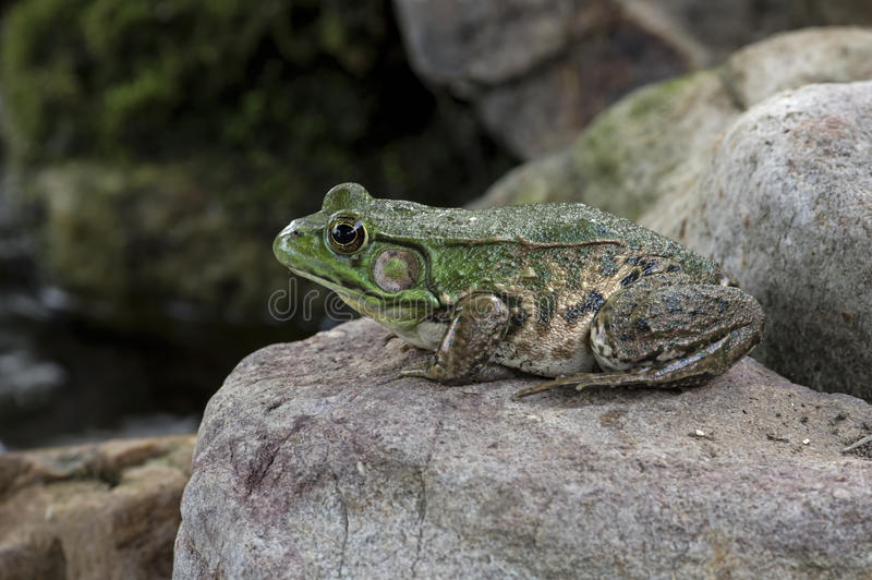 Bull Frog on Rock royalty free stock image