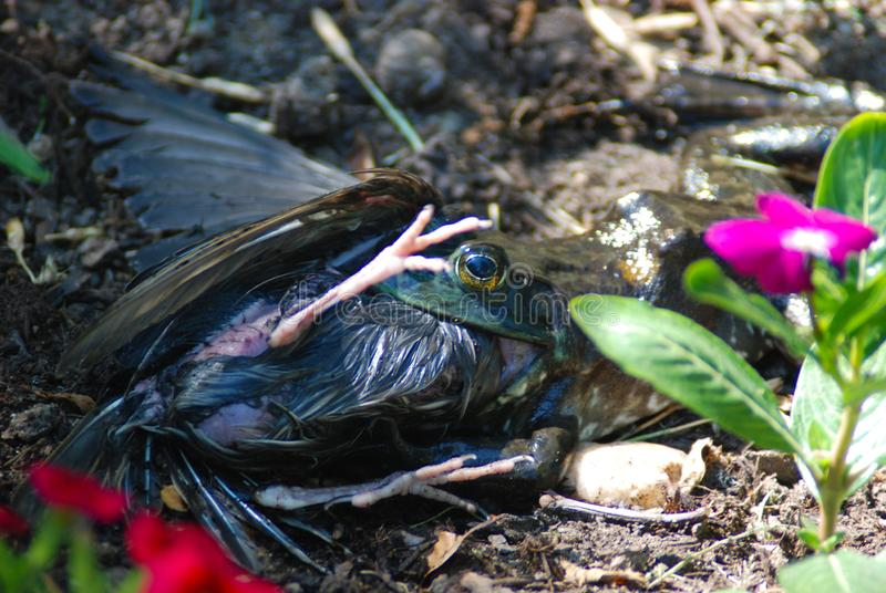 Bull frog trying to eat a starling bird. A starling bird fell in pond, frog caught it and dragged it out attempting to swallow the fighting bird in a garden royalty free stock photography