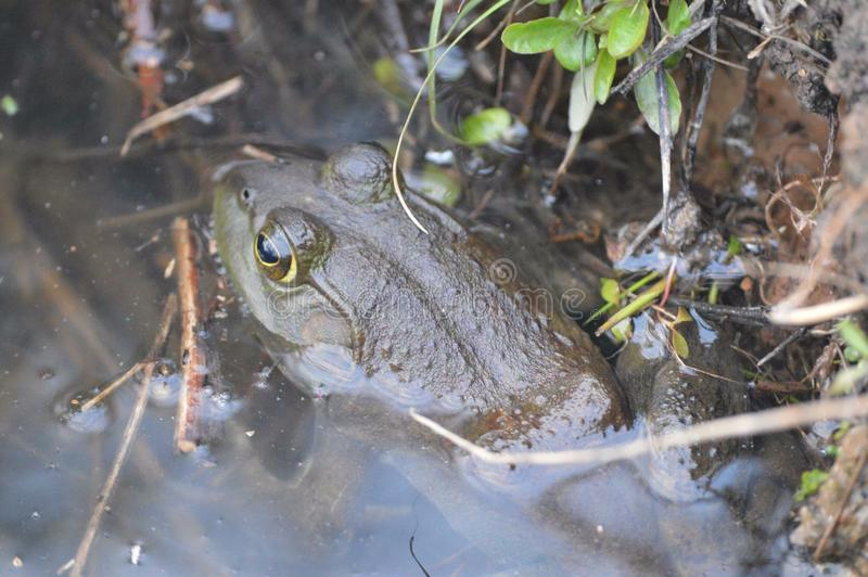 Bull frog. This is a zoom in of a bull frog in the water at Ernest L. Oros Park in New Jersey royalty free stock photo