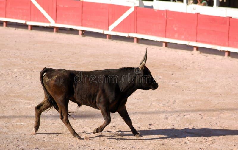 Bull furioso na arena imagem de stock royalty free