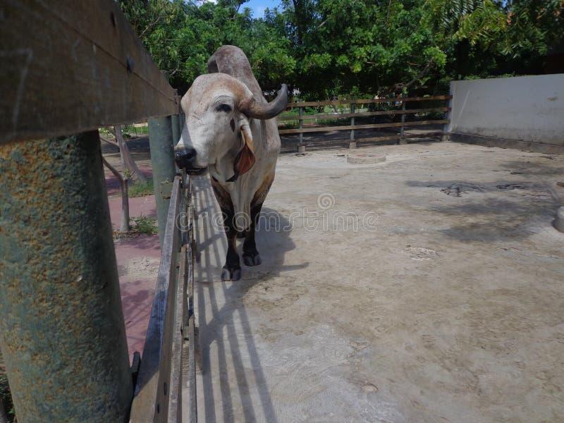 Bull Gir in the corral stock photo