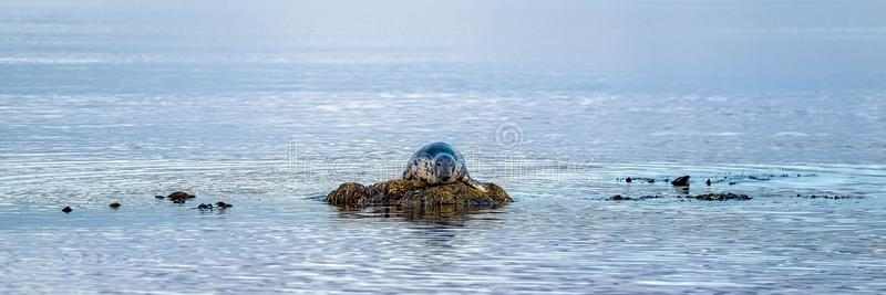 Bull grey seal lounging on a rock. In a calm ocean looking at the camera stock photo