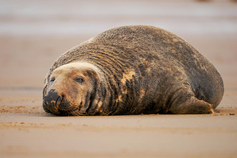 Bull grey seal with one eye open. A bull Gey Seal keeps one eye on his harem at Donna Nook royalty free stock photo