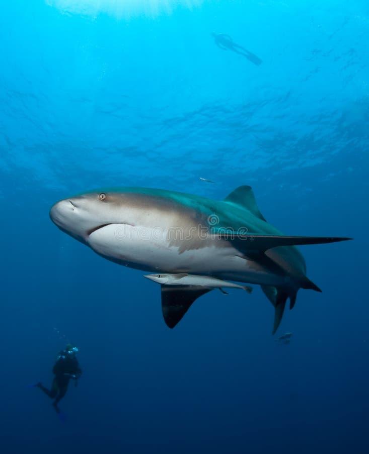 Download Bull-Haifisch in Mosambik stockbild. Bild von indisch - 21259685