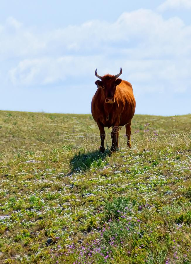 Bull on a Hill  3 stock photo
