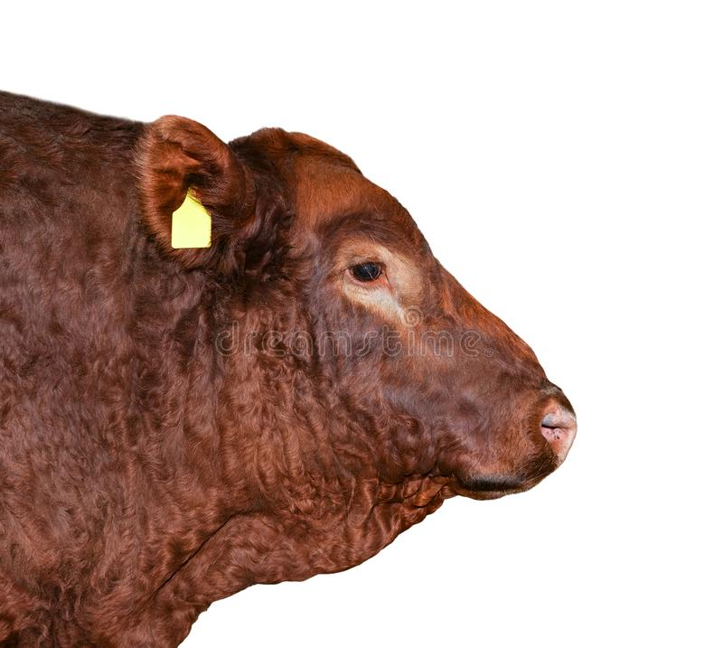 Bull isolated on white. Beautiful big bull portrait close up. Farm animals. Beef cattle isolated on white. Bull isolated on white. Beautiful big brown bull stock image