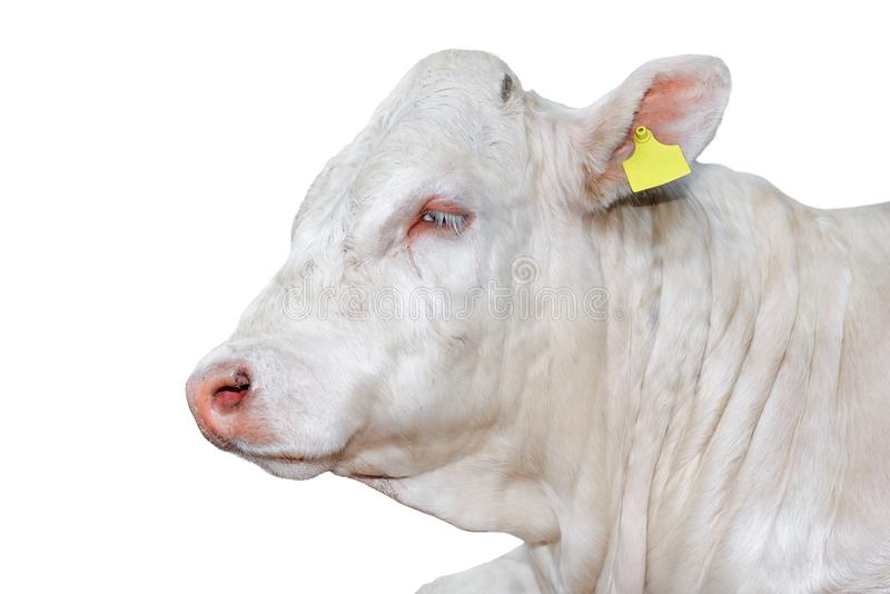 Bull isolated on white. Beautiful big white bull portrait close up. Farm animals. Beef cattle isolated on white. Bull isolated on white. Beautiful big white stock photo