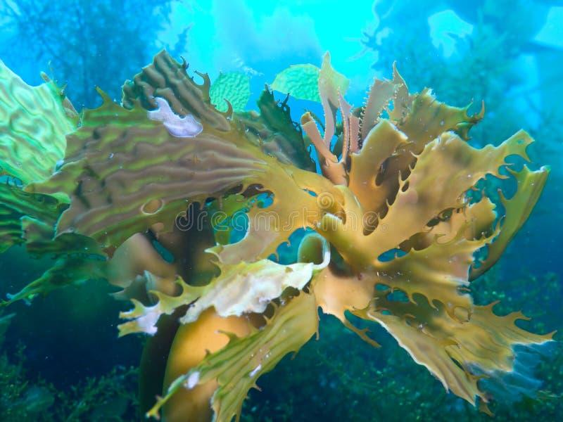 Bull-Kelp stockfotos