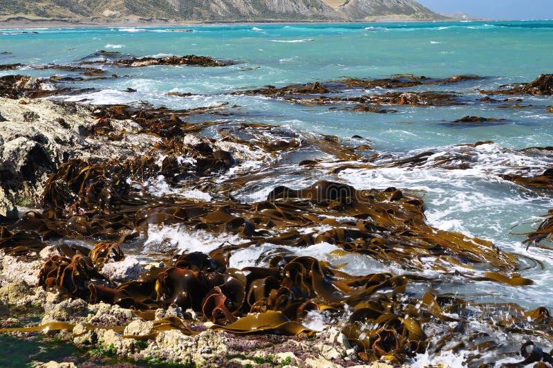 Bull kelp Seaweeds on shore rocks royalty free stock photography