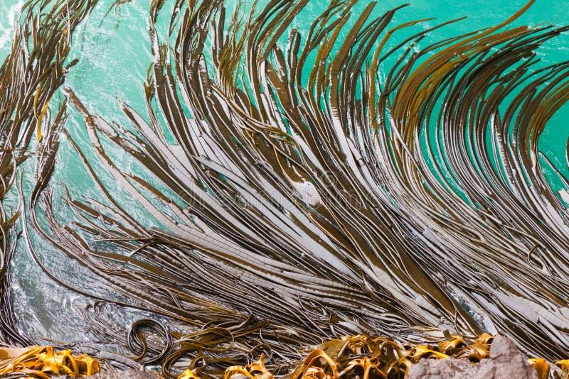 Bull-Kelpblätter auf Oberflächenhintergrundbeschaffenheit lizenzfreies stockbild