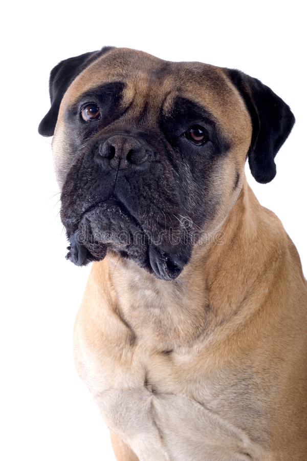 Free Bull Mastiff Dog Royalty Free Stock Images - 4412479