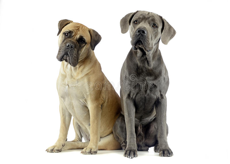 bull mastiff and puppy cane corso sitting in a white studio floor stock image