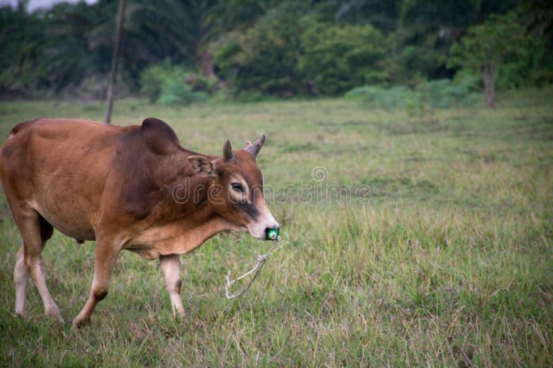 Bull meadow royalty free stock photos