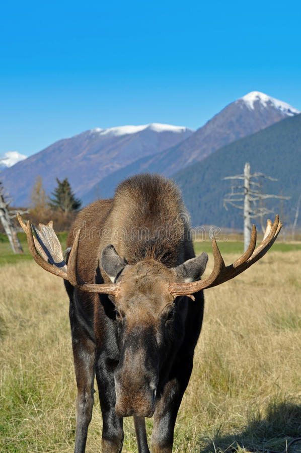 Bull Moose. This is a alaskan bull moose with mountains in the background stock photos