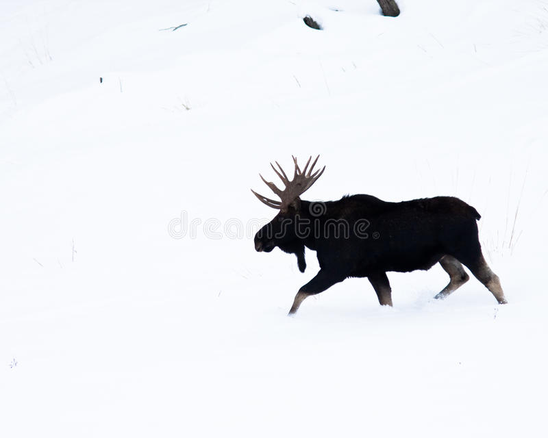 Bull Moose. During winter in Yellowstone stock photos