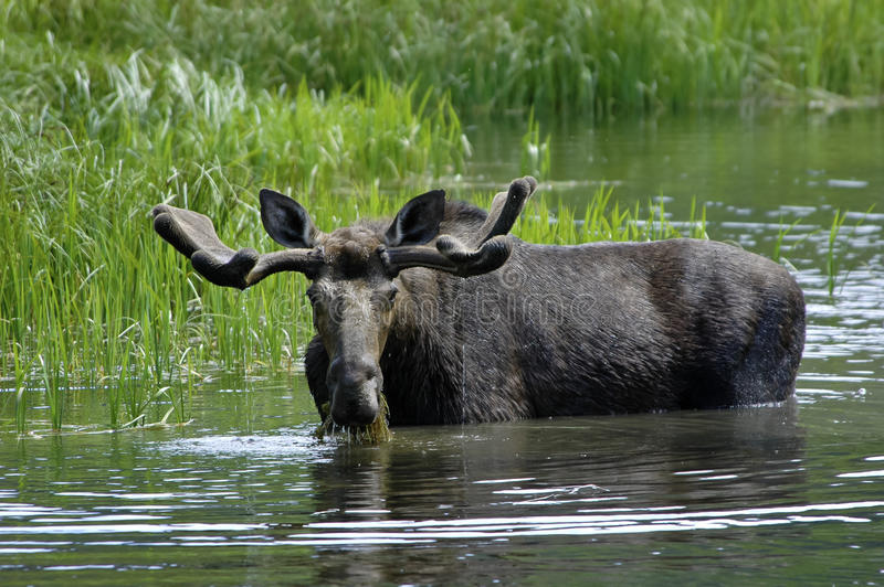 Bull Moose. A bull moose eating and drinking in a pond royalty free stock images