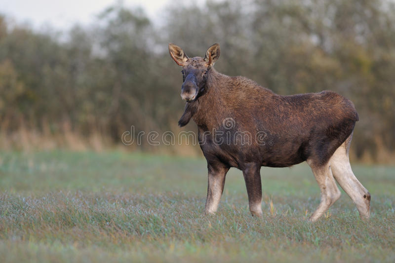 Bull Moose. In autumn evening stock photography