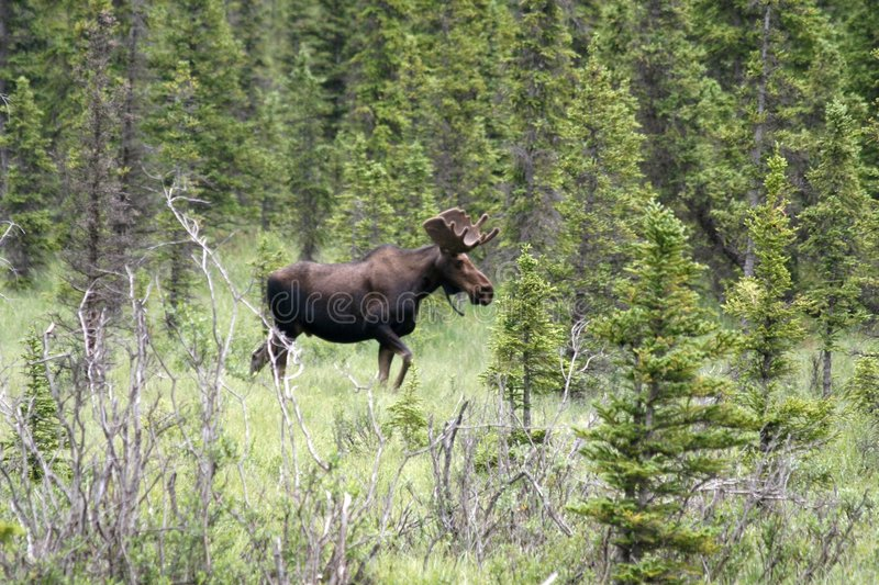 Bull Moose. A bull moose walking in the forest stock photography