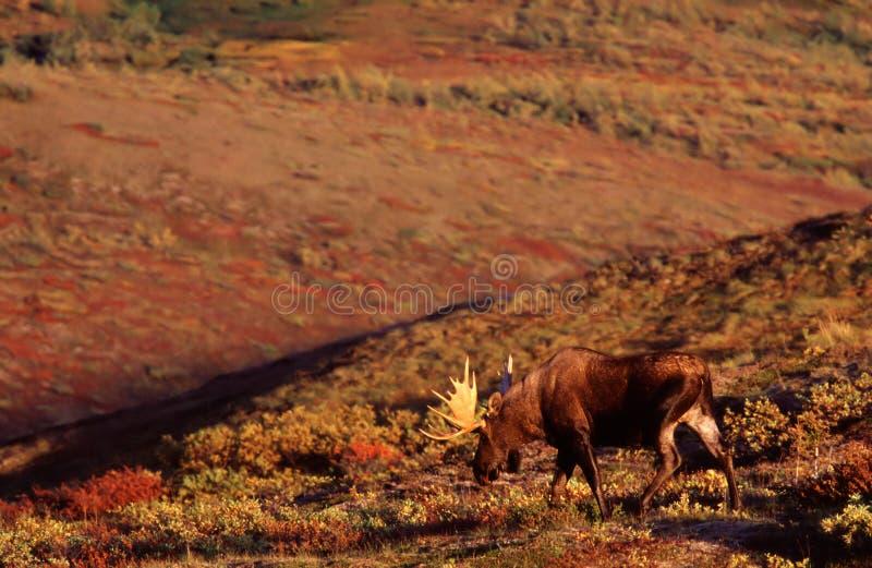 Bull Moose. In the landscape stock photo