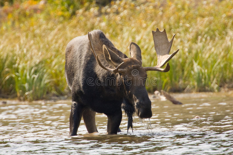 Bull Moose. Feeding in Lake royalty free stock photo