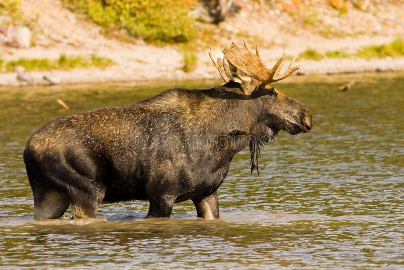 Bull Moose. Profile of Bull Moose Standing in Lake stock photos