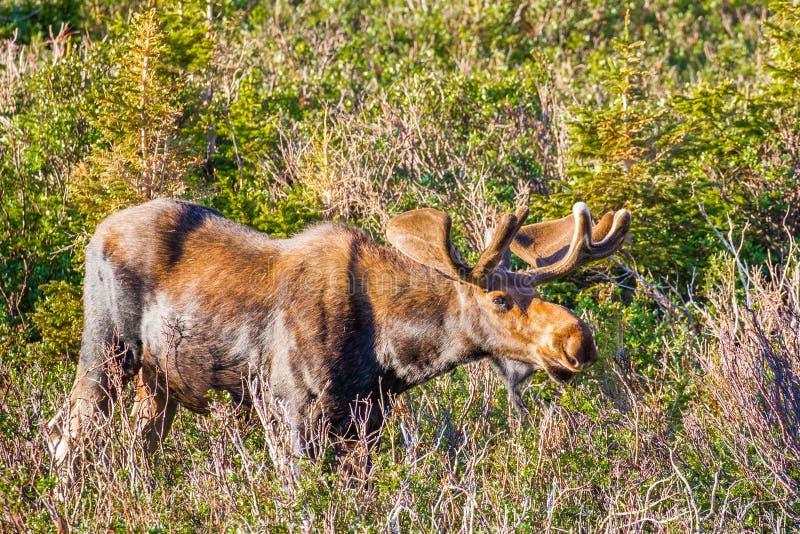 Bull Moose. Adult Male Moose Browsing On Willow Plants, Lake Brainard Recreation Area, Colorado royalty free stock image