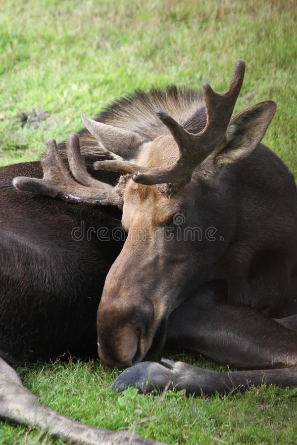 Bull Moose in the Alaska Wildlife Conservation Center. This is a photo of a bull moose taken at the Alaska Wildlife Conservation Center in Alaska while I was on stock image