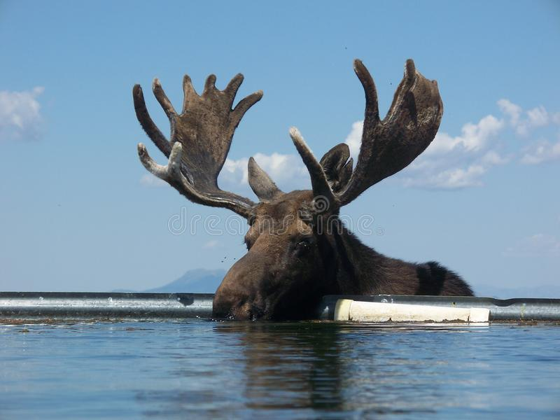 Bull Moose Alces alces. A bull moose in Idaho getting water out of a water tank stock photo