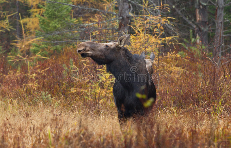 Cow moose Alces alces and calf grazing in a field in Canada. Cow moose Alces alces and calf grazing in a field in Algonquin Park in Canada royalty free stock photo