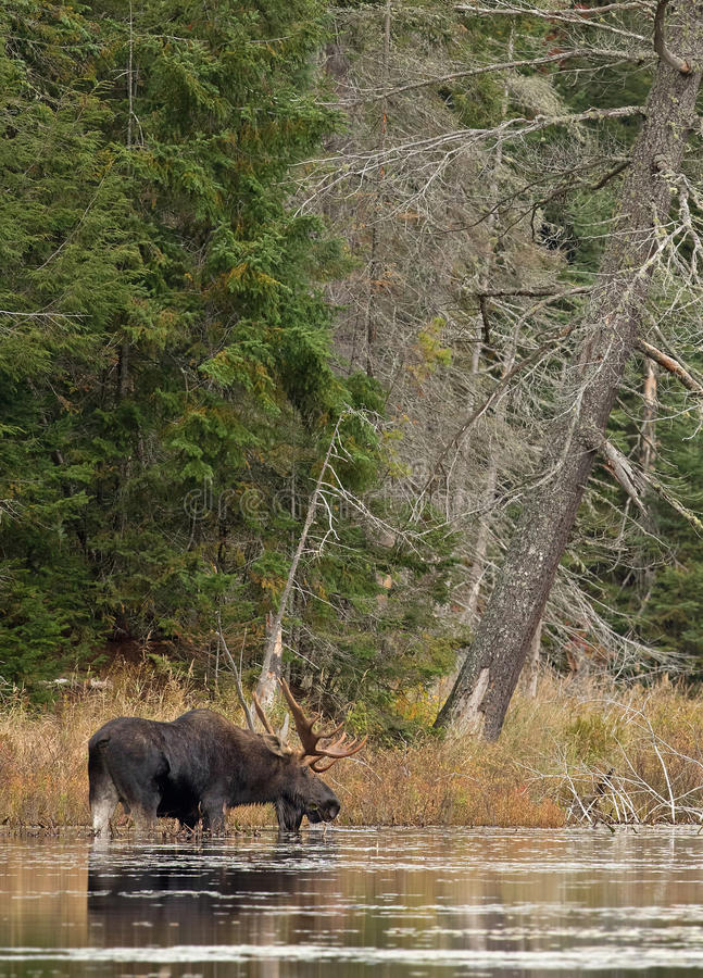 Bull Moose in autumn in Algonquin Park royalty free stock photography