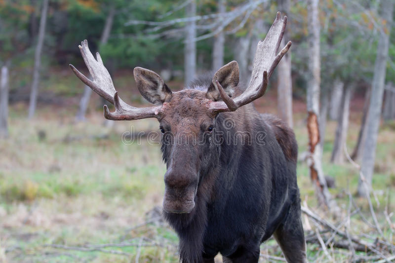 Bull moose in autumn. Bull moose Alces alces standing a field in autumn royalty free stock image