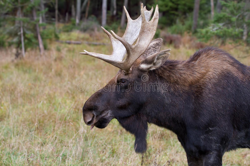 Bull moose in autumn. Bull moose Alces alces standing a field in autumn stock photo