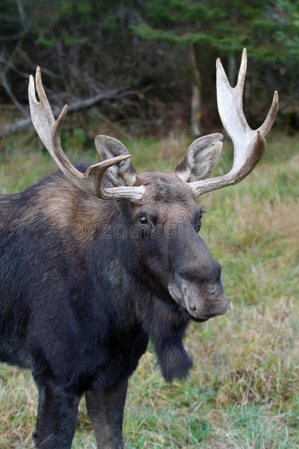 Bull moose in autumn. Bull moose Alces alces standing a field in autumn royalty free stock photo