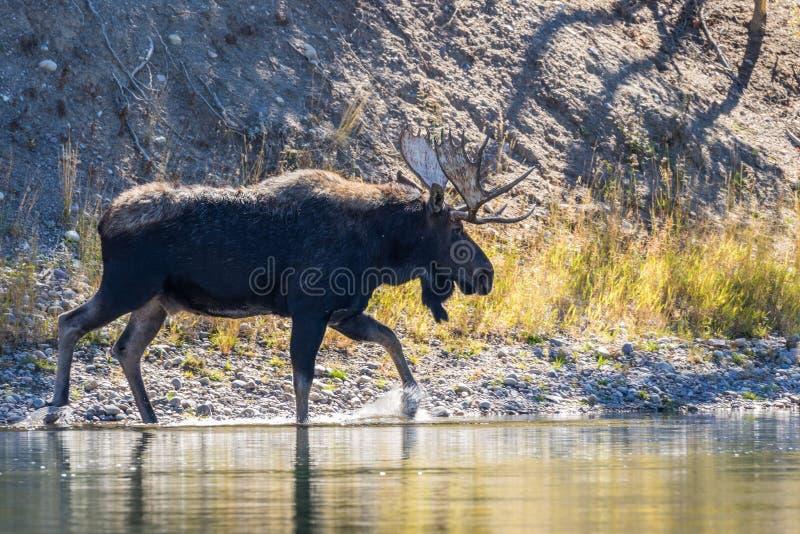 Bull Moose Along River. A bull moose walking along the edge of a river royalty free stock image