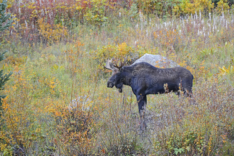 Bull moose with antlers in autumn scenery royalty free stock photography