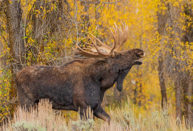 Bull Moose in Autumn. A bull moose during the fall rut in Wyoming royalty free stock photo