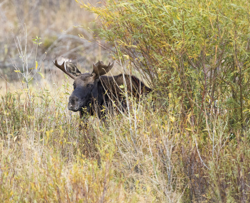 BULL MOOSE IN AUTUMN COLORS STOCK IMAGE stock image