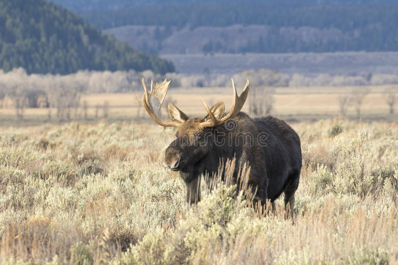 BULL MOOSE IN AUTUMN COLORS STOCK IMAGE royalty free stock images