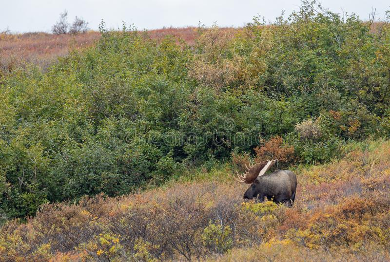 Bull Moose in Autumn in Denali National Park. An Alaska Yukon bull moose in Denali National park in autumn royalty free stock photography