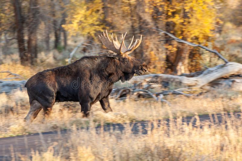 Bull Moose in Autumn royalty free stock images