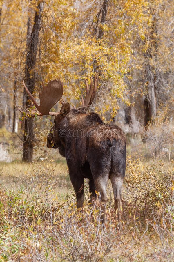 Bull Moose in Autumn in Wyoming stock photography