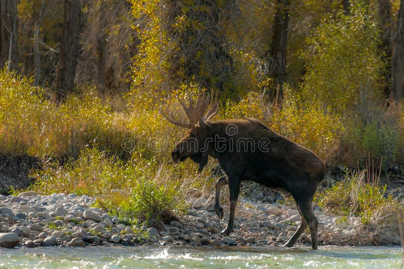 Bull moose returning to land after fording the river. Bull Moose on the bank of the Gros Ventre River in Grand Teton National Park, Jackson Hole Wyoming royalty free stock image