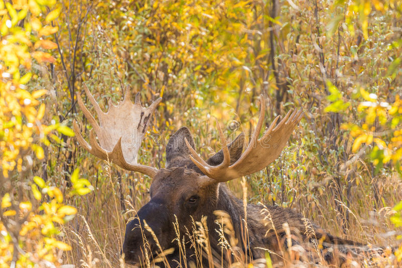 Bull Moose Bedded. A big bull shiras moose in fall in Teton National Park Wyoming royalty free stock images
