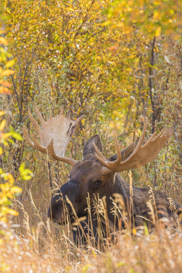 Bull Moose Bedded in Fall. A big bull shiras moose in fall in Teton National Park Wyoming royalty free stock photo