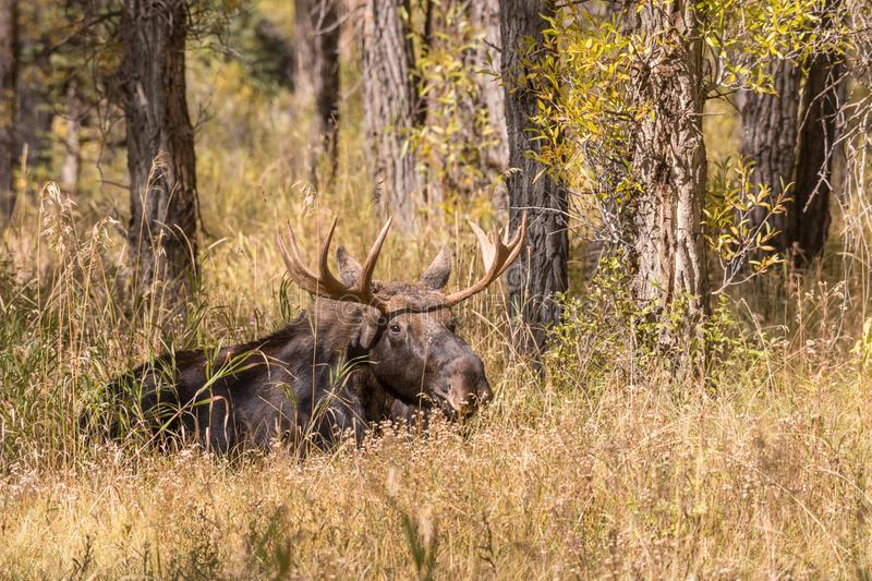 Bull Moose Bedded in Fall. A bull shiras moose bedded during the fall rut in Wyoming stock photography