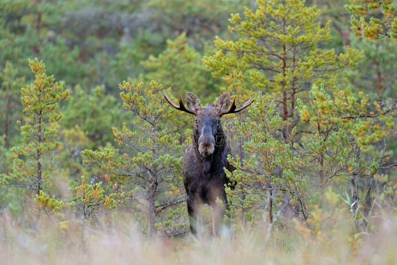 Bull moose in bog. In autumn stock image